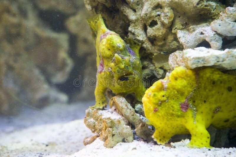 Sluit omhoog op gestreepte frogfish (antennariusstriatus) stock fotografie