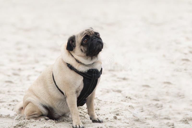 Sluit omhoog op pug hond op zand, droevig gezicht royalty-vrije stock afbeeldingen
