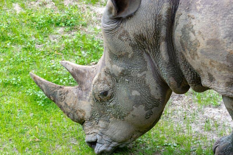 Sluit omhoog op rinoceros het knagen aan op gras stock fotografie