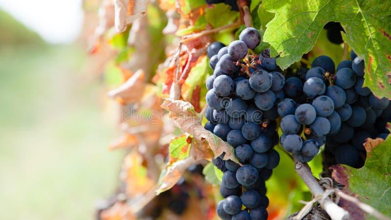 Sluit omhoog op rode druiven in een wijngaard in de recente zomer plotseling vóór oogst royalty-vrije stock afbeeldingen