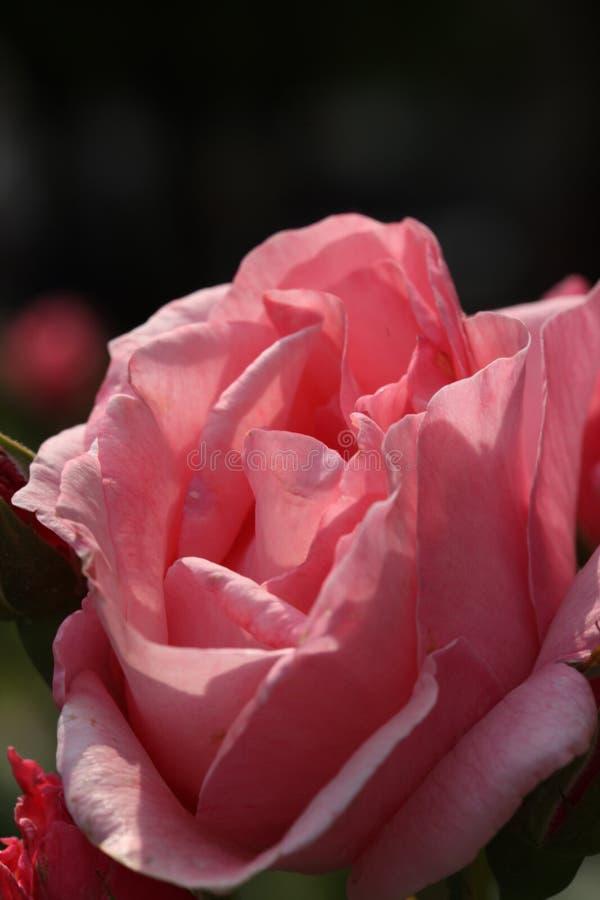 sluit omhoog op roze tot bloei kwam toenam op een donkere achtergrond stock afbeeldingen