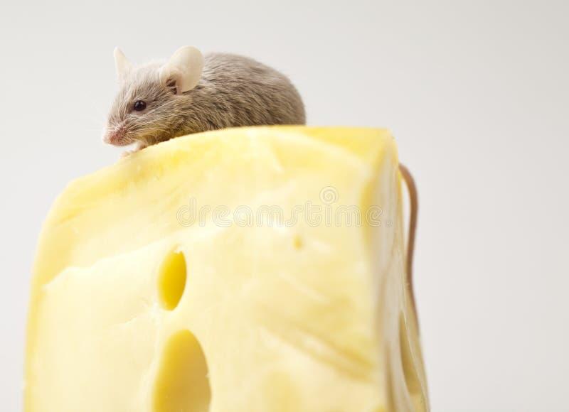Sluit omhoog op weinig muis stock afbeelding