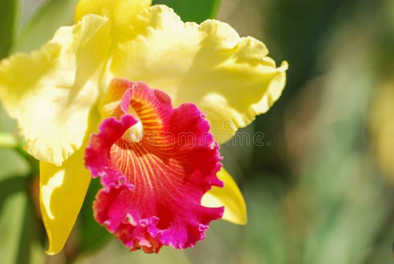 Sluit omhoog Orchideebloem in tropische tuin stock foto