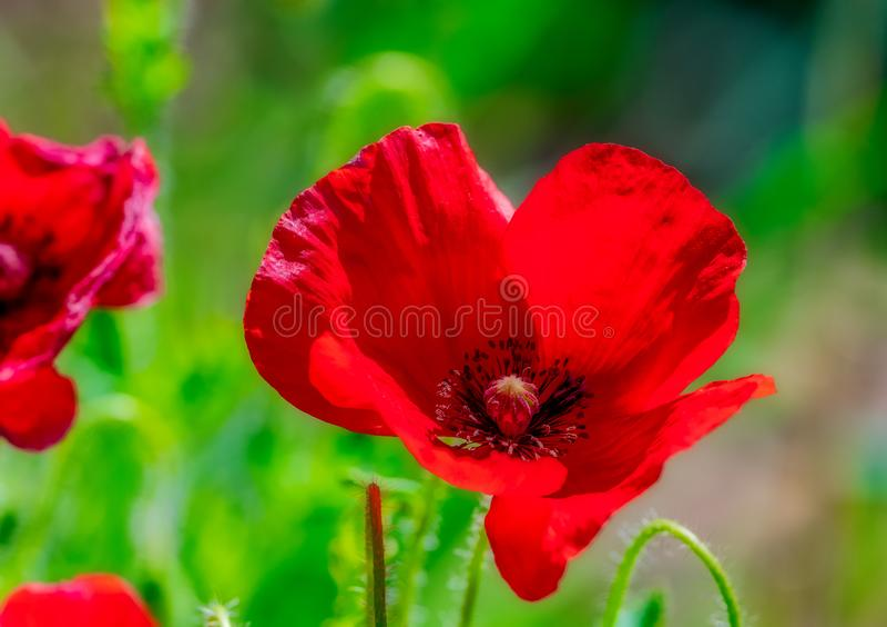 Sluit omhoog papaverbloemen in volledige bloei stock afbeelding