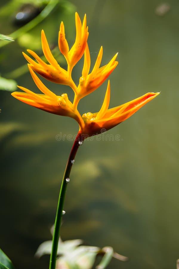 Sluit omhoog Paradijsvogel bloem royalty-vrije stock fotografie
