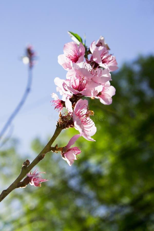 Sluit omhoog perzikboomtak met roze bloembloesems royalty-vrije stock afbeelding