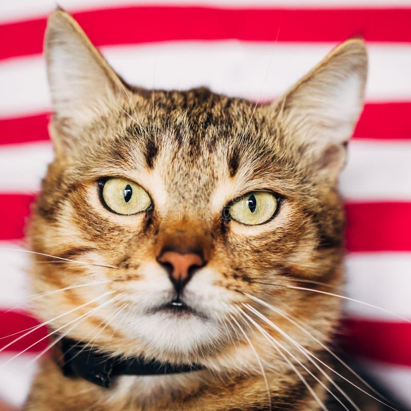 Sluit omhoog Portret Tabby Male Kitten Cat stock foto's