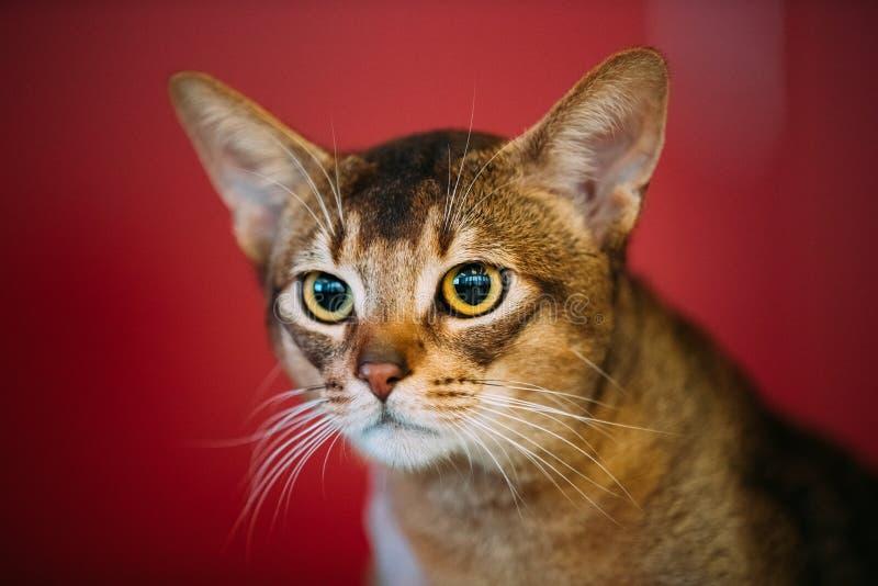 Sluit omhoog Portret van Abyssinian Cat Kitten stock foto