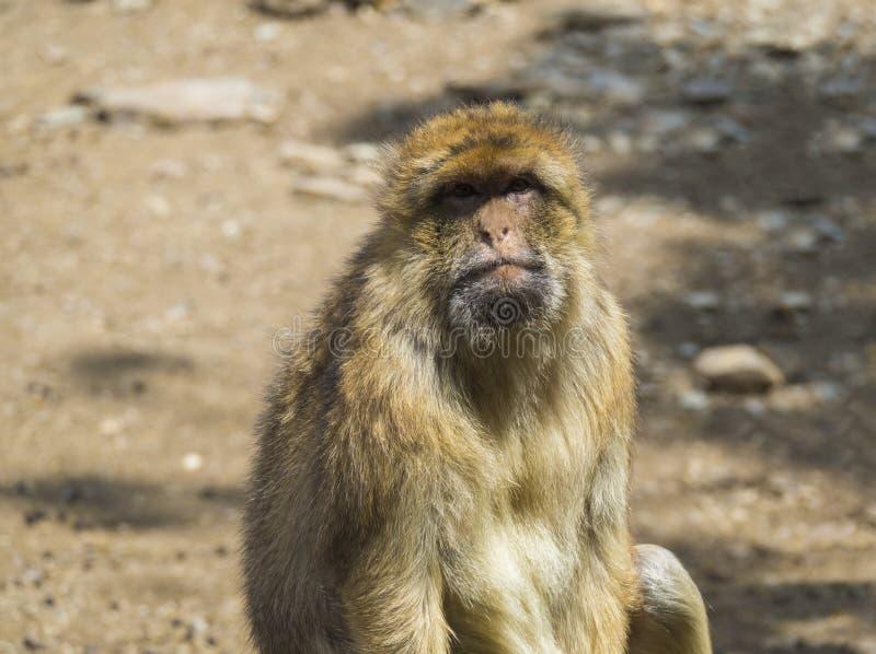 Sluit omhoog portret van Barbarije macaque, Macaca-sylvanus, kijkend aan de camera, selectieve nadruk, exemplaarruimte voor tekst royalty-vrije stock foto