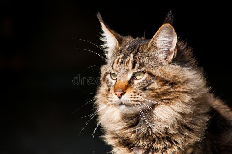 Sluit omhoog portret van de kat van gestreepte katmaine coon op zwarte achtergrond stock fotografie