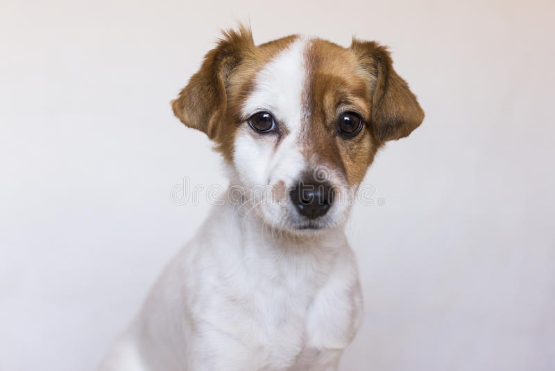 Sluit omhoog portret van een leuke jonge hond over witte achtergrond Lov stock afbeelding