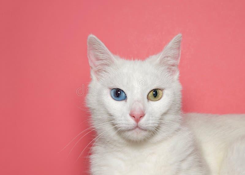 Sluit omhoog portret van een middelgrote haar witte kat met heterochromia stock fotografie