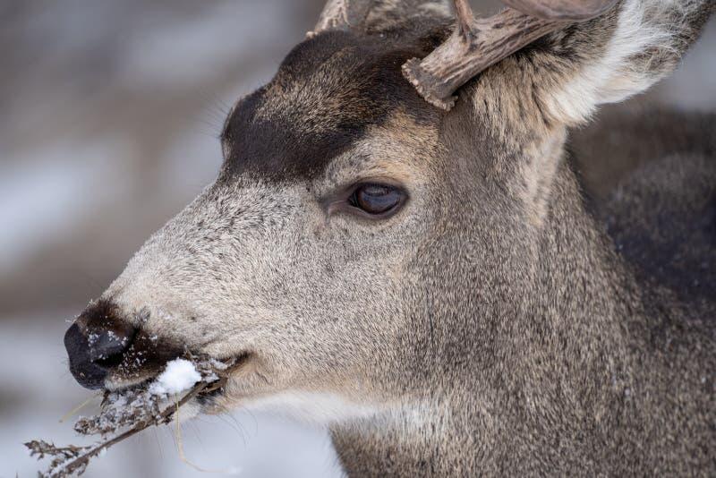 Sluit omhoog portret van een muilezelhert die takjes en grassen in de winter eten stock fotografie