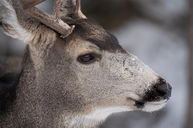 Sluit omhoog portret van een muilezelhert, zijaanzicht, met sneeuw op neus en snuit royalty-vrije stock afbeelding