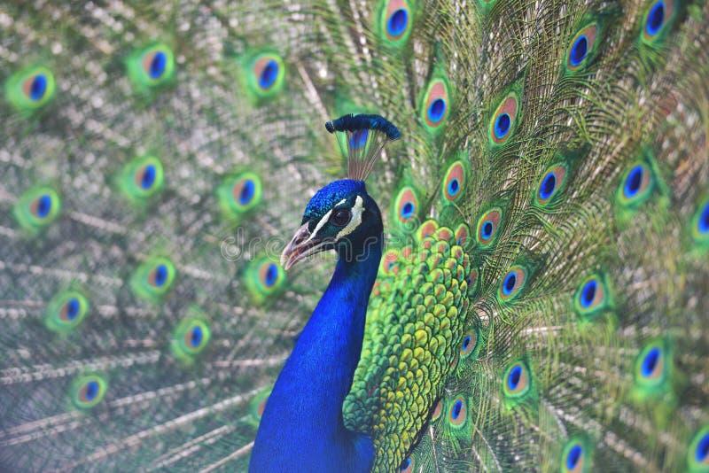 Sluit omhoog portret van een volwassen mannelijke pauw die zijn kleurrijke veren tonen royalty-vrije stock foto's