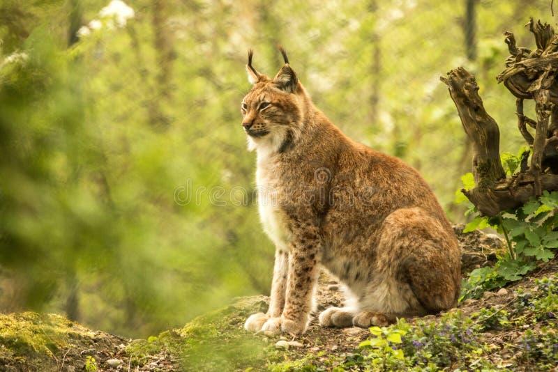 Sluit omhoog portret van Europese Lynx zitting en het rusten in de lentelandschap in natuurlijke boshabitat, het leven in bossen, royalty-vrije stock afbeelding
