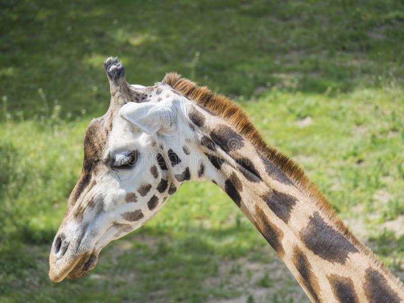 Sluit omhoog portret van girafhoofd, Giraffa-camelopardaliscamelopardalis Linnaeus, profielmening, groene bokehachtergrond stock afbeelding