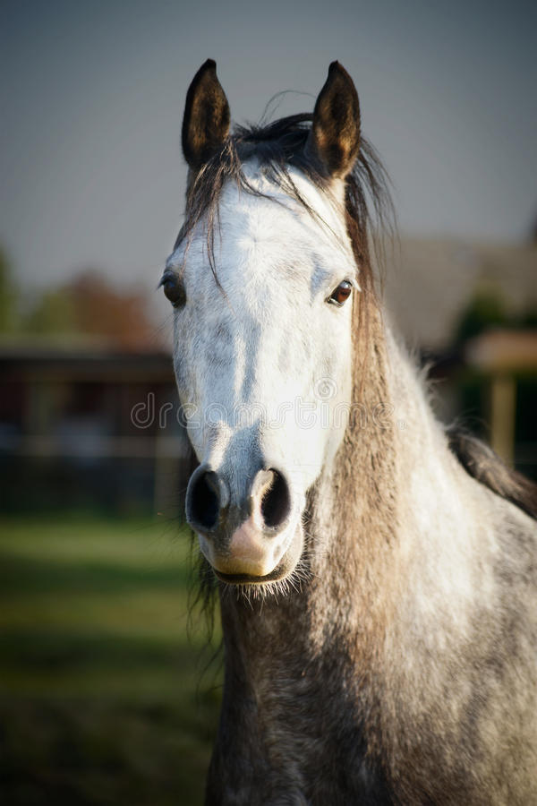 Sluit omhoog Portret van Gray Horse stock foto's