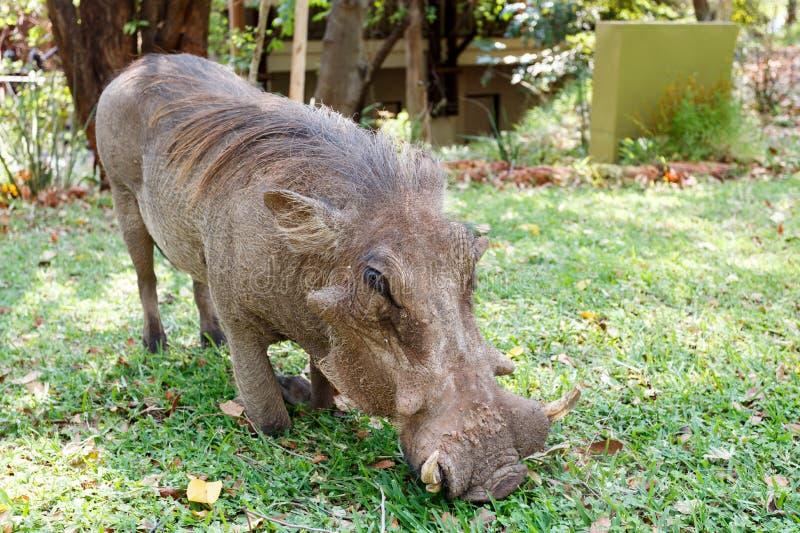 Sluit omhoog portret van het mannetje van het wrattenvarken in kampeerterrein stock foto