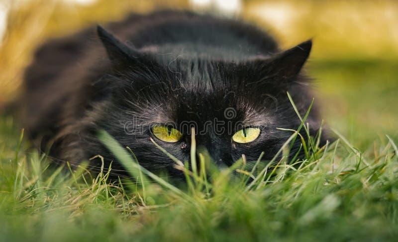 Sluit omhoog portret van kater Chantilly die Tiffany op het gras leggen en aan camera op zonsondergang kijken Donkere zwarte kat  royalty-vrije stock foto