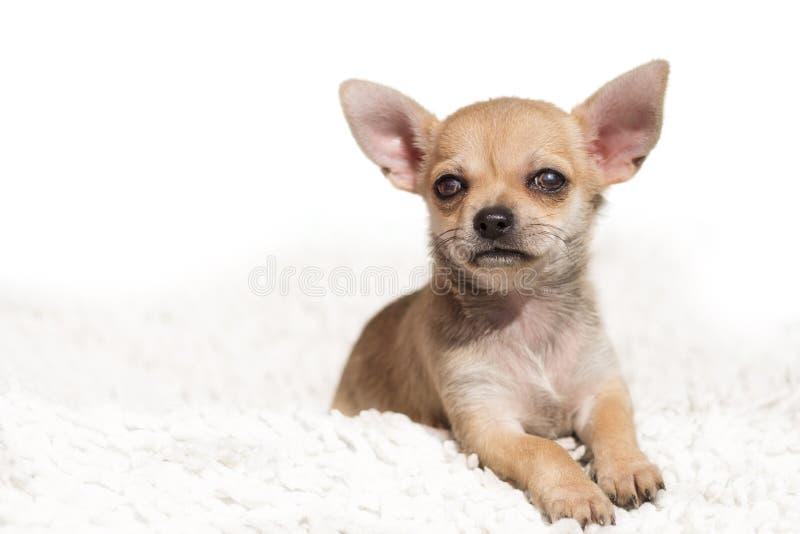 Sluit omhoog portret van leuk Chihuahua-puppy stock fotografie