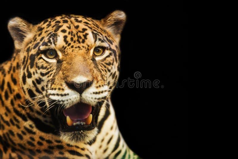 Sluit omhoog portret van luipaard royalty-vrije stock afbeeldingen
