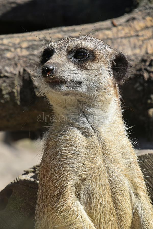 Sluit omhoog portret van meerkat gealarmeerd letten op royalty-vrije stock afbeelding
