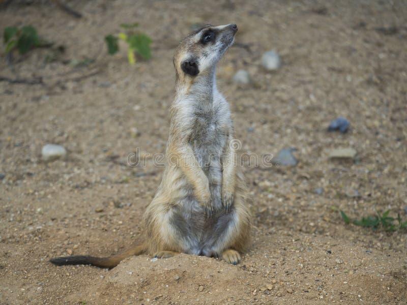 Sluit omhoog portret van meerkat of suricate, Suricata-het zijaanzicht van het suricattaprofiel, selectieve nadruk, exemplaarruim royalty-vrije stock afbeelding