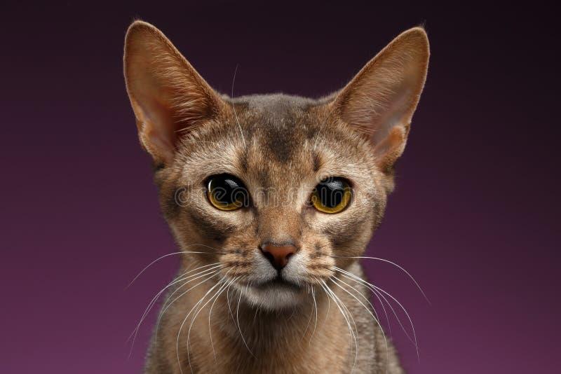 Sluit omhoog Portret van mooie abyssinian Kat op purpere achtergrond stock fotografie
