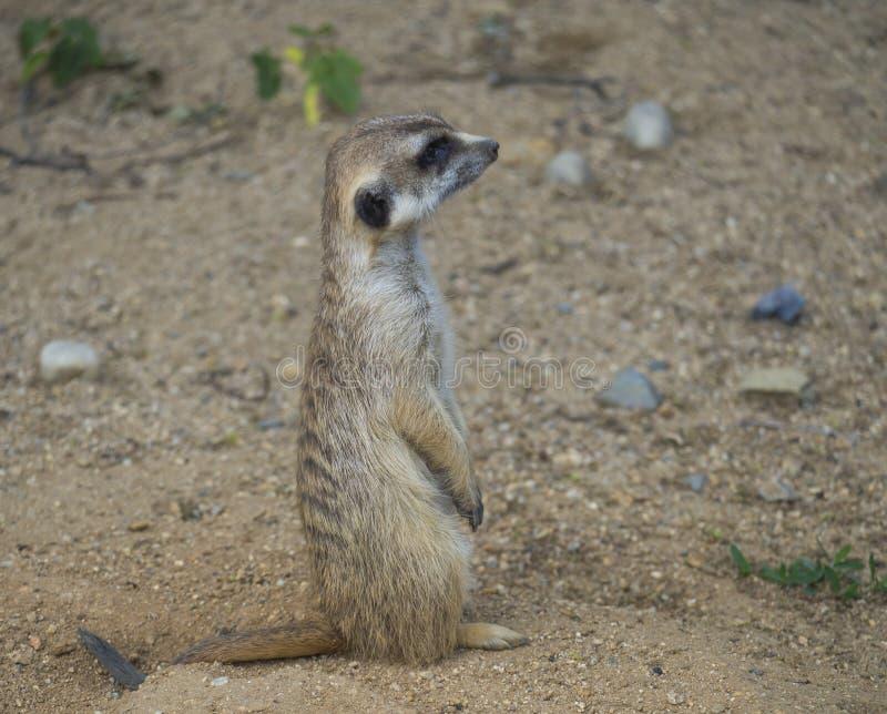 Sluit omhoog portret van status meerkat of suricate, Suricata-het zijaanzicht van het suricattaprofiel, selectieve nadruk, exempl royalty-vrije stock foto's