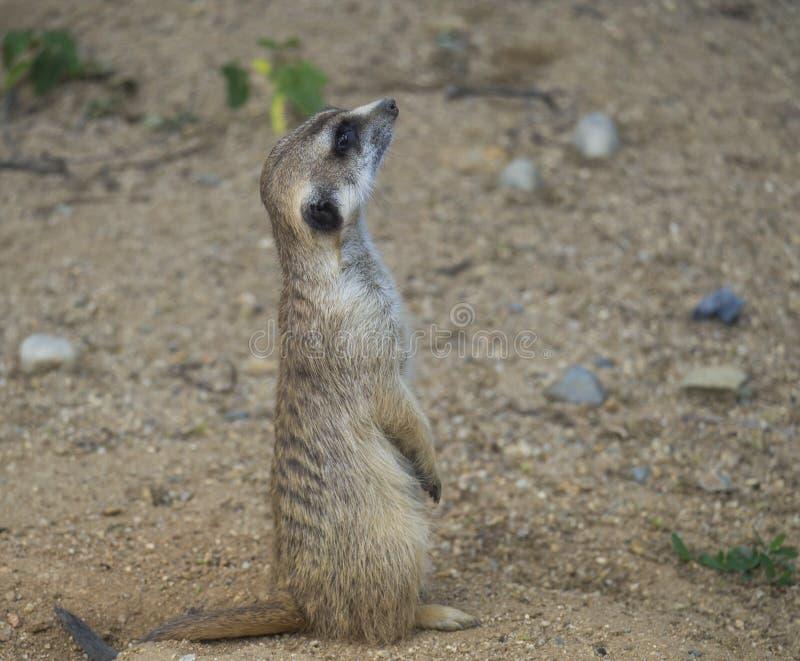 Sluit omhoog portret van status meerkat of suricate, Suricata-het zijaanzicht van het suricattaprofiel, selectieve nadruk, exempl stock afbeelding