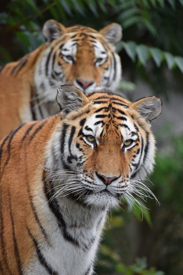 Sluit omhoog portret van twee Amur-tijgers stock foto