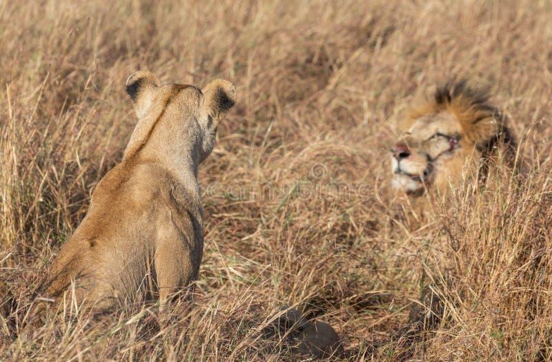 Sluit omhoog portretten van volwassen mannelijke Zandrivier of Elawana-Trotsleeuw, Panthera-leo, met welp in lang gras van Masai  stock foto