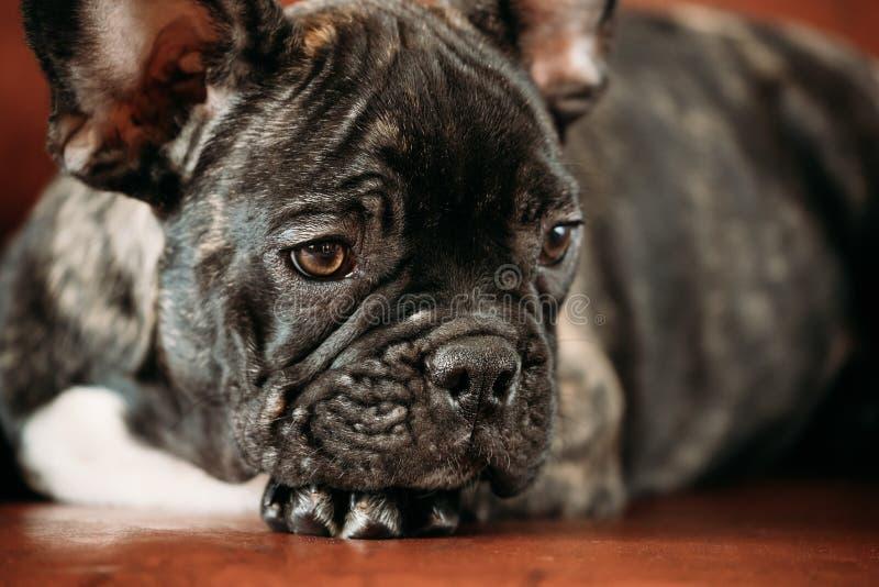 Sluit omhoog Potrait van het Jonge Zwarte Franse Puppy van de Buldoghond royalty-vrije stock fotografie