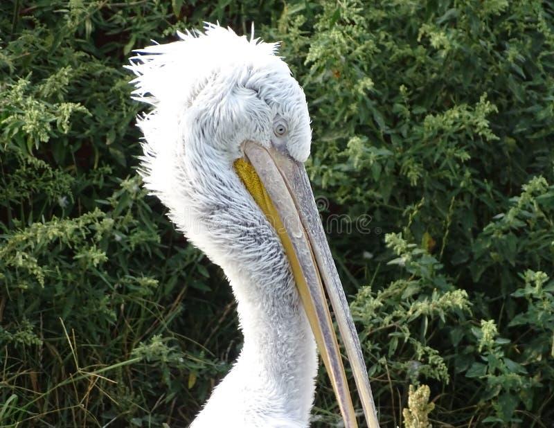 Sluit omhoog profiel van pelikaan met verstoorde veren royalty-vrije stock foto's