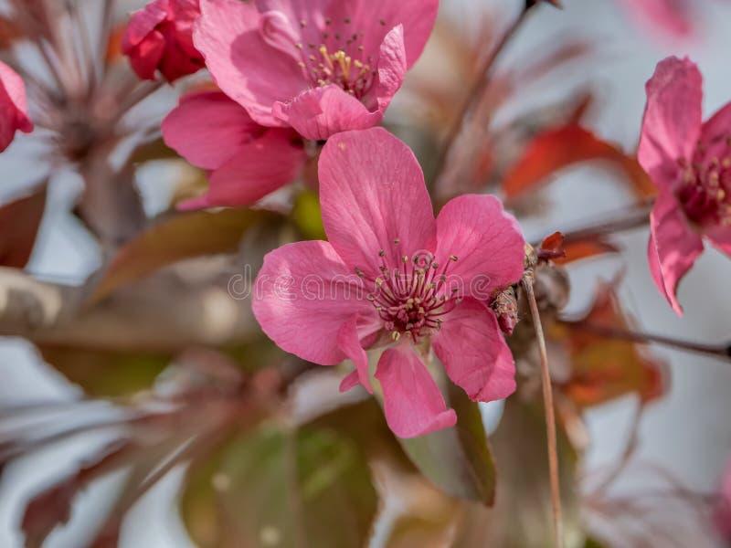 Sluit omhoog purpere van de de krabappel van de bloemzaal halliana van Malus stock foto's