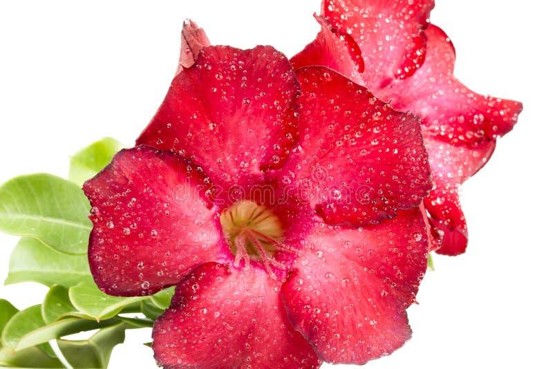 Sluit omhoog rode azaleabloemen stock foto