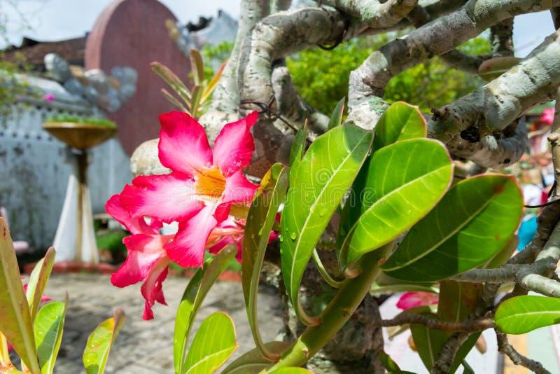 Sluit omhoog Roze bloem met regendruppels Tropische bloem van Vietnam stock foto's