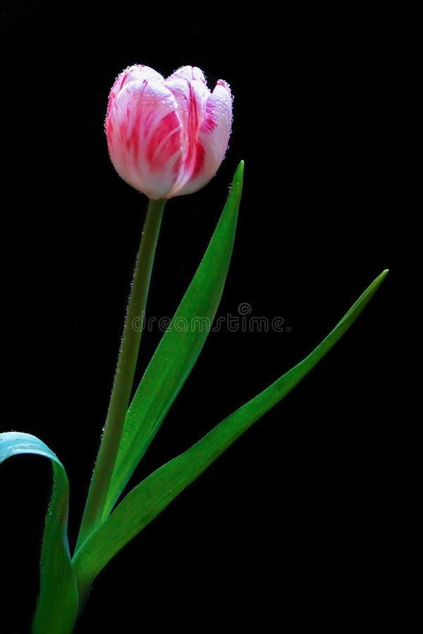 Sluit omhoog Roze Bloemblaadje Tulip With Dew op Bloemen met Zwarte Achtergrond Macrobloem stock fotografie