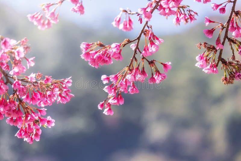 Sluit omhoog roze Sakura-bloemen of Kersenbloesem die op boom bloeien stock foto's