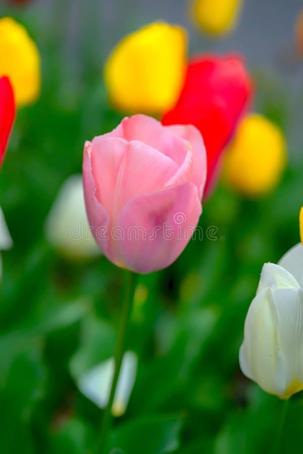 Sluit omhoog roze tulp en multicolored tulpenachtergrond stock afbeelding