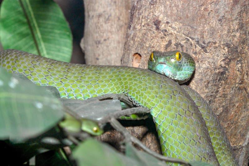 Sluit omhoog slang & x28; groene kuil viper& x29; op boom in Thailand royalty-vrije stock fotografie
