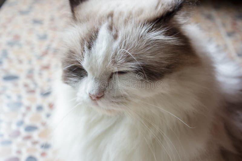 Sluit omhoog slaperig gezicht van Perzische kat royalty-vrije stock foto's