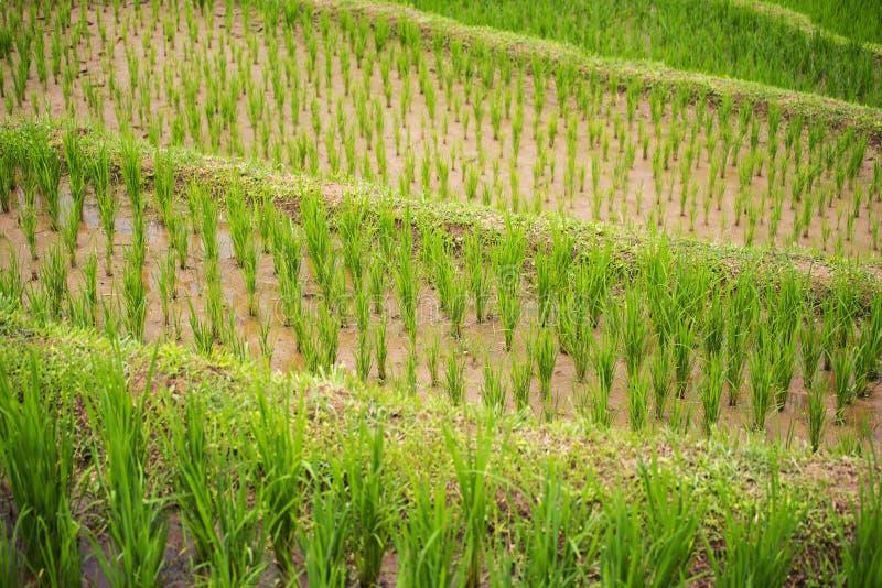 Sluit omhoog terrasvormige rijst rield Chiang Mai, Thailand stock afbeeldingen