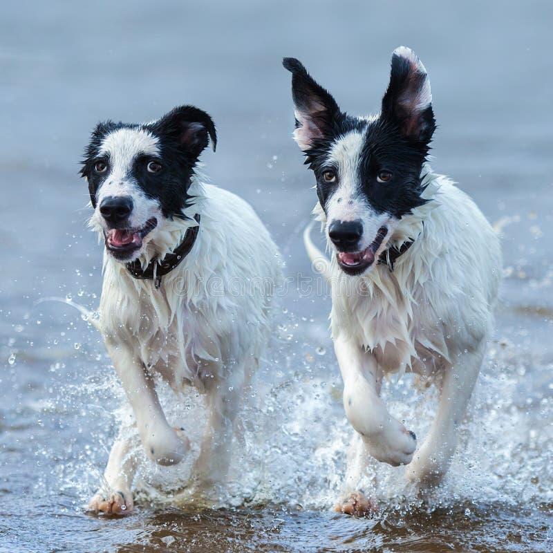 Sluit omhoog twee puppy die van waakhond op water lopen royalty-vrije stock foto