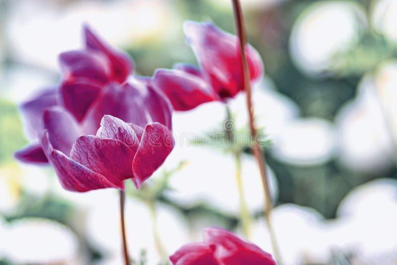 Sluit omhoog uitstekende foto van Roze violette die tulp, macro van knop in tuin wordt geschoten Het is mooie aardachtergrond met royalty-vrije stock afbeeldingen
