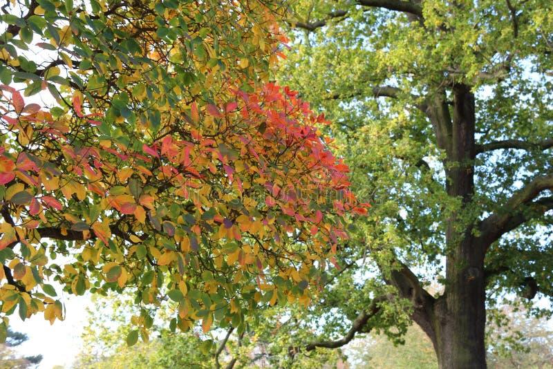 Sluit omhoog van aardige de herfst kleurrijke bladeren, majestueuze eiken boom stock foto