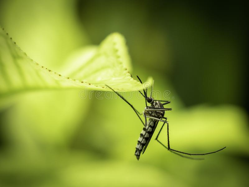 Sluit omhoog van Aedes de Mug van Aegypti royalty-vrije stock fotografie