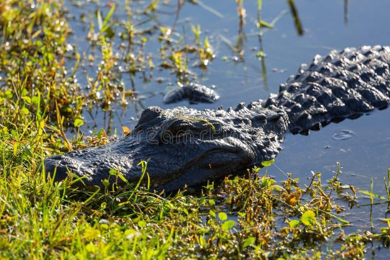 Sluit omhoog van alligator in Everglades royalty-vrije stock afbeeldingen