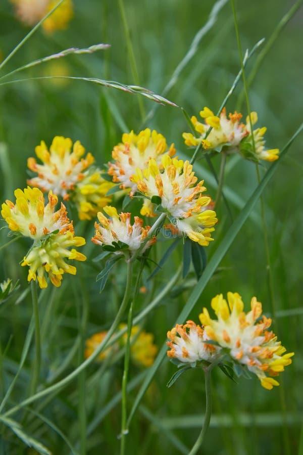 Sluit omhoog van Alpiene Nierwikke - Anthyllis-vulneraria stock fotografie